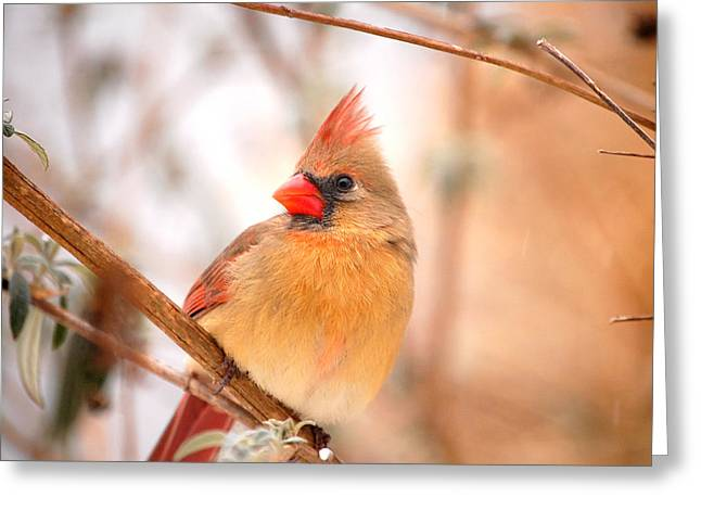 Cardinal Bird Female Greeting Card