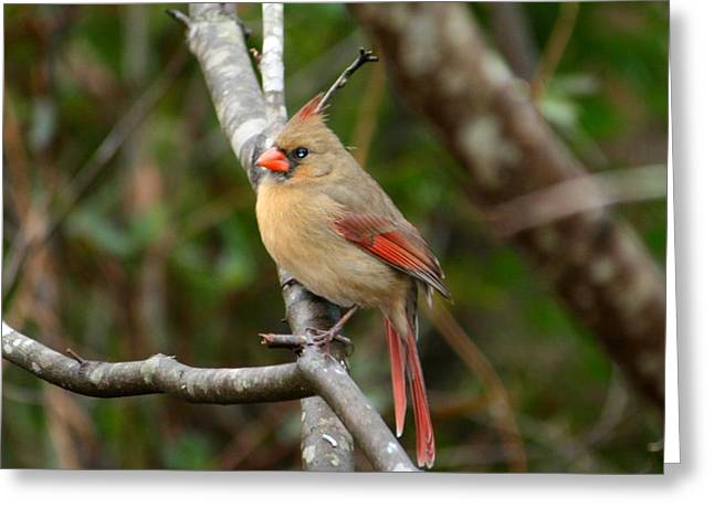 Greeting Card featuring the photograph Cardinal by Cathy Harper