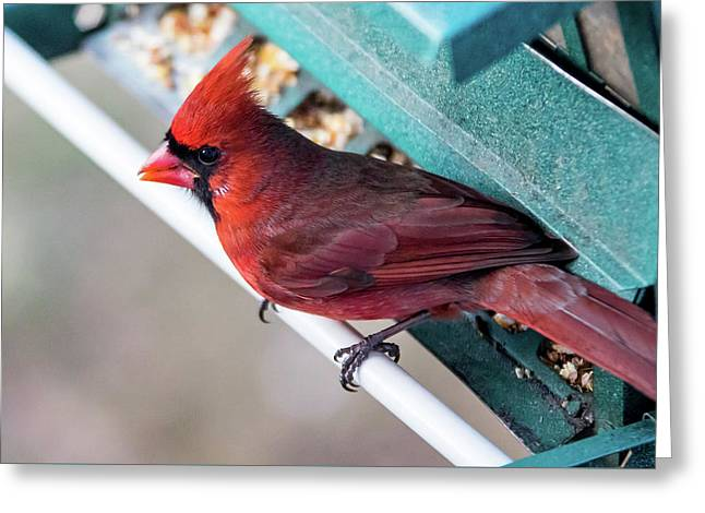 Greeting Card featuring the photograph Cardinal Close Up by Darryl Hendricks
