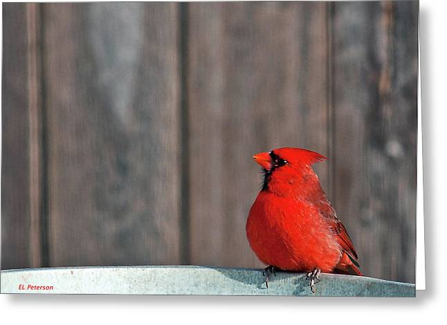 Cardinal Drinking Greeting Card