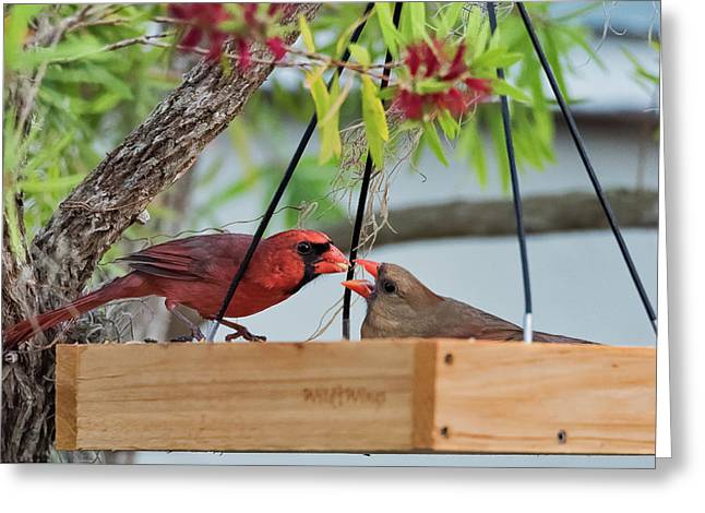 Cardinal Feeding  Greeting Card