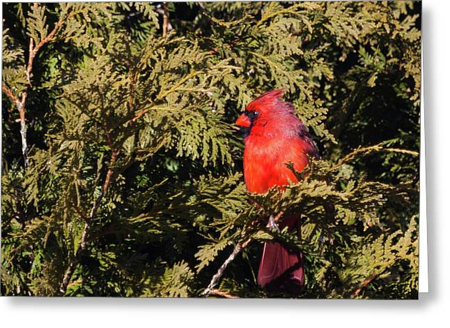 Greeting Card featuring the photograph Cardinal I by Michelle Wiarda