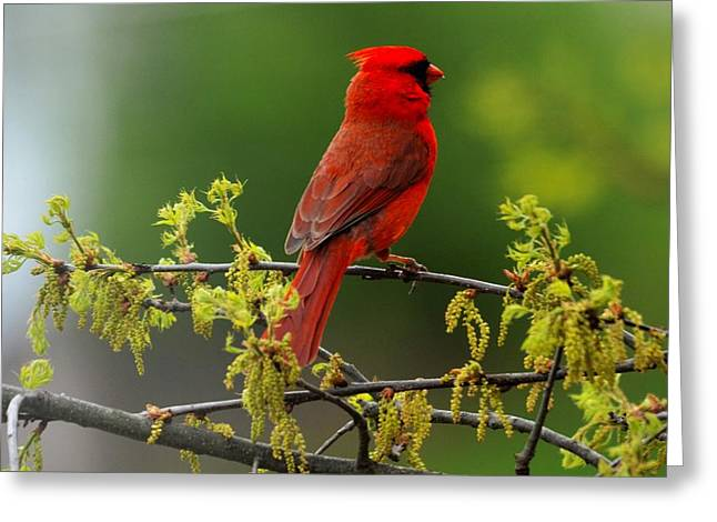 Cardinal In Early Spring Greeting Card
