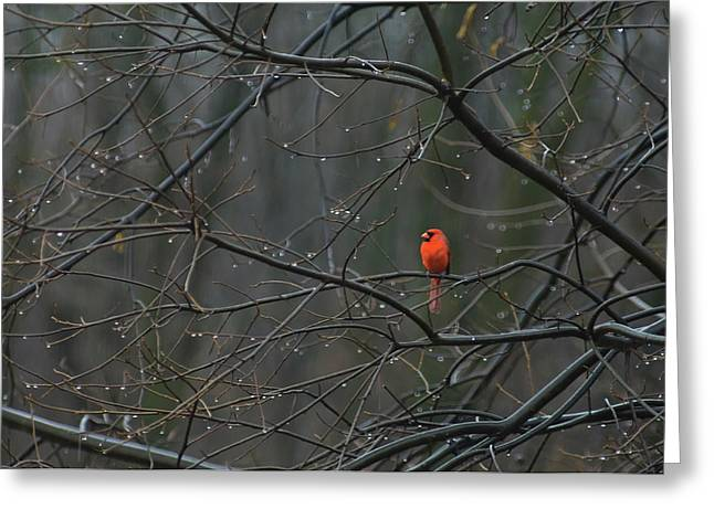 Cardinal In End Of Winter Rain Greeting Card by James Oppenheim