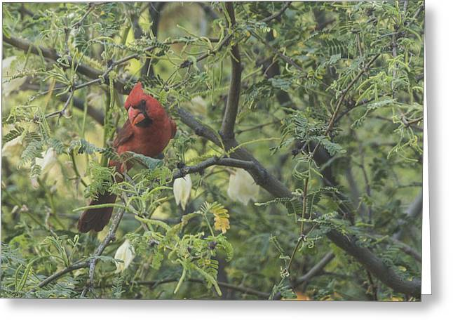 Cardinal In Mesquite Greeting Card by Laura Pratt