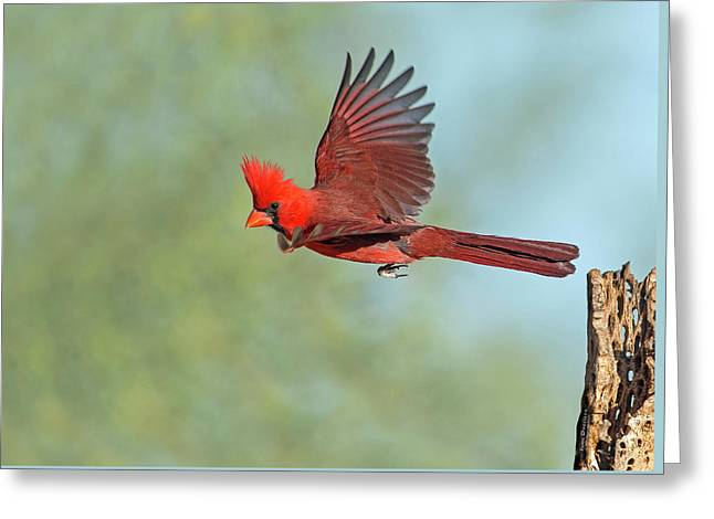 Cardinal On A Mission Greeting Card