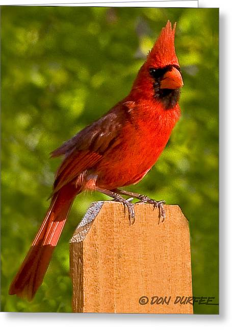 Greeting Card featuring the photograph Cardinal On Fence by Don Durfee