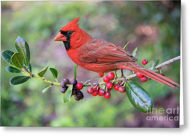 Greeting Card featuring the photograph Cardinal On Holly Branch by Bonnie Barry