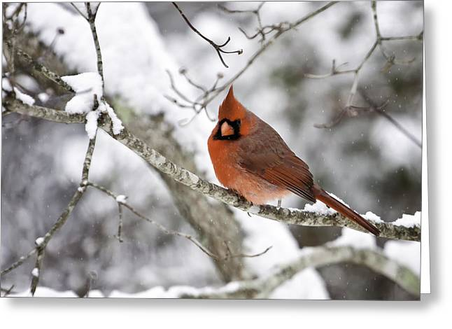 Bird Photographs Greeting Cards - Cardinal on Snowy Branch Greeting Card by Rob Travis