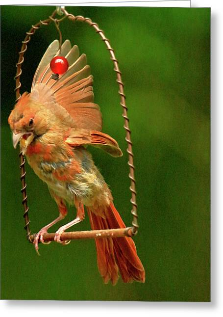 Cardinal On Swing  Greeting Card