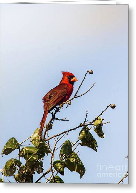 Cardinal On Treetop Greeting Card by Robert Frederick