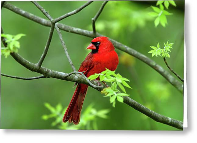 Greeting Card featuring the photograph Cardinal by Ronnie and Frances Howard