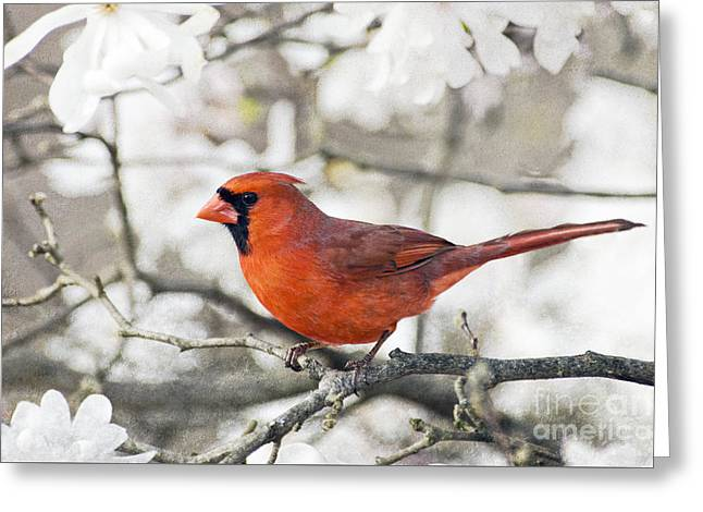 Greeting Card featuring the photograph Cardinal Spring - D009909-a by Daniel Dempster