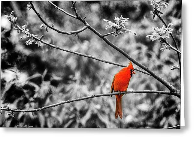 Cardinal... Greeting Card