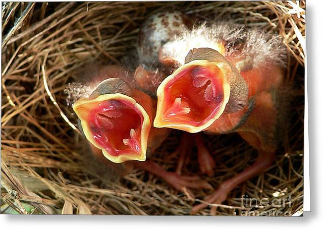 Cardinal Twins - Open Wide Greeting Card by Al Powell Photography USA