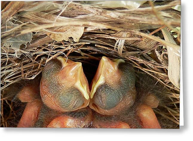 Cardinal Twins - Snugly Sleeping Greeting Card by Al Powell Photography USA