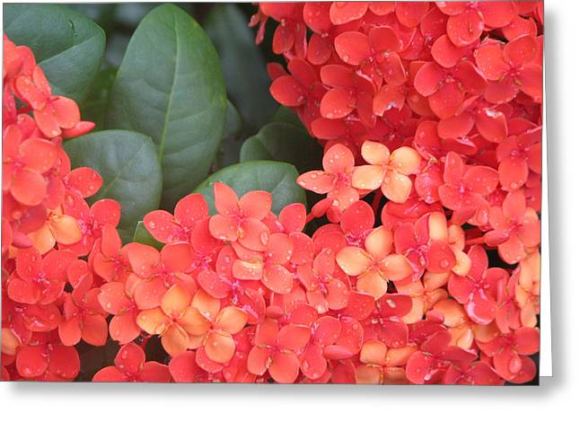 Caribbean Beauty Greeting Card by Ginger Howland