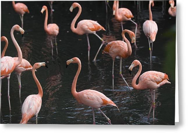 Caribbean Flamingoes At The Sedgwick Greeting Card by Joel Sartore