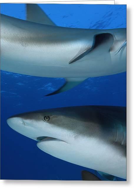 Caribbean Reef Sharks Swim Greeting Card by Brian J. Skerry