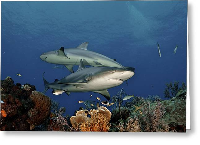 Atlantic Islands Greeting Cards - Caribbean Reef Sharks Swimming Greeting Card by Brian J. Skerry