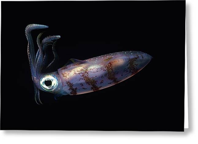 Caribbean Reef Squid At Night Greeting Card