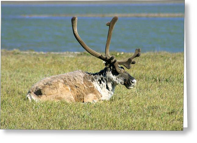Caribou Resting Greeting Card by Anthony Jones