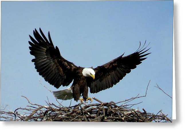 Cape Vincent Eagle Greeting Card