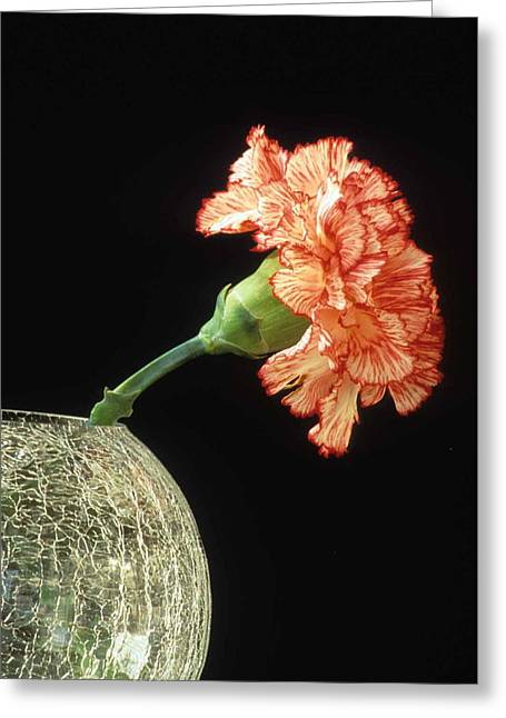 Carnation Greeting Card by Laurie Paci