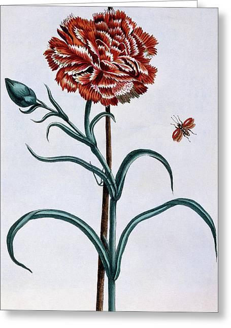 Carnation Greeting Card by Pierre-Joseph Buchoz