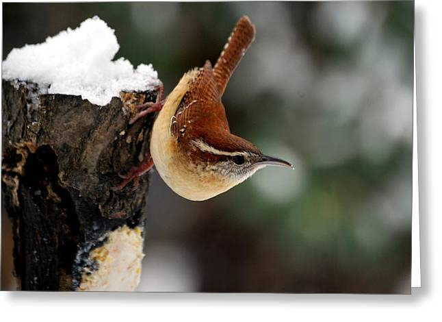 Bird-feeder Greeting Cards - Carolina At The Suet Post Greeting Card by Skip Willits