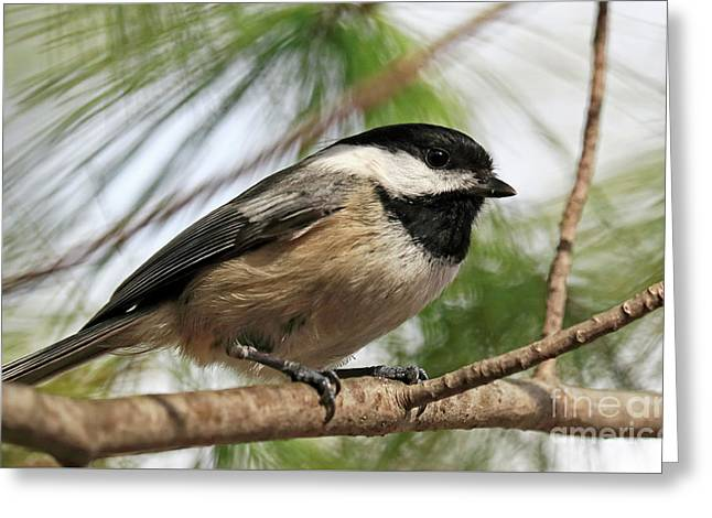 Greeting Card featuring the photograph Carolina Chickadee by Charline Xia