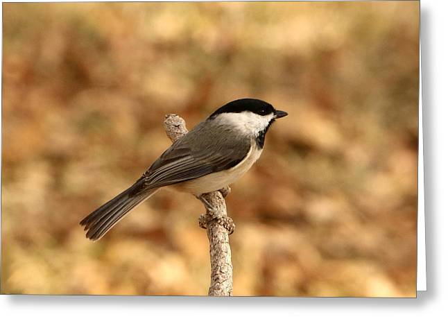 Carolina Chickadee On Branch Greeting Card