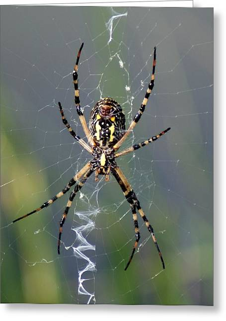 Carolina Garden Spider Greeting Card