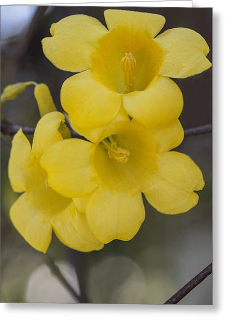 Carolina Jessamine Greeting Card by Arlene Carmel