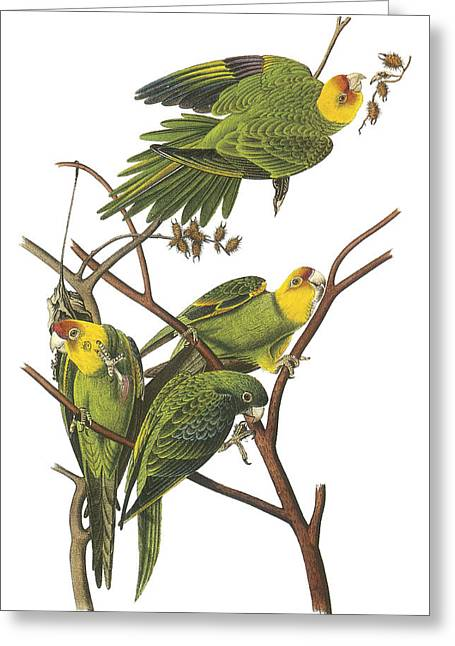Carolina Parakeet Greeting Card by John James Audubon