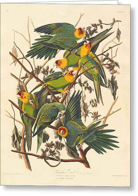 Carolina Parrot Greeting Card