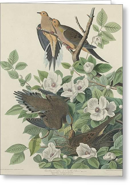 Carolina Pigeon Or Turtle Dove Greeting Card