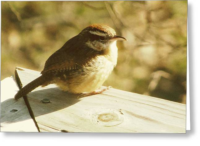 Carolina Wren Greeting Card by Amy Tyler