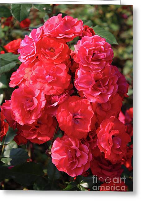 Cascading Red Roses Greeting Card