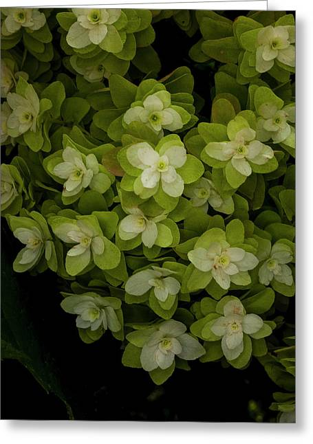 Cascading White Blossoms 2 Greeting Card by Greg  Plachta