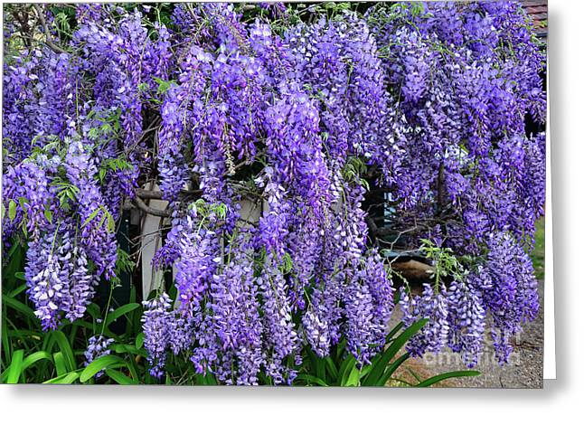 Cascading Wisteria 2 Greeting Card by Kaye Menner