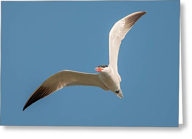 Caspian Tern Right Turn Greeting Card