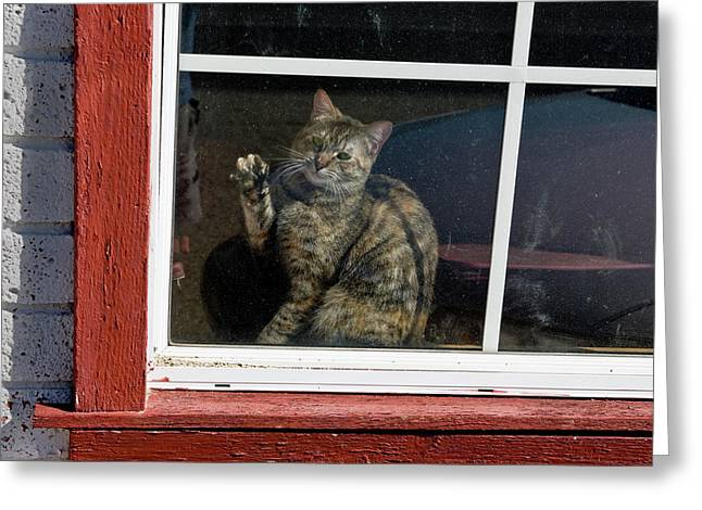 Cat In The Red  Window Greeting Card
