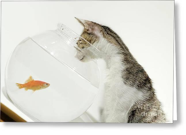 Cat Looking At Fish In Fishbowl Greeting Card by Sami Sarkis