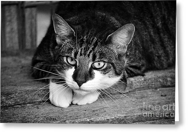 Cat Naps 2 Greeting Card