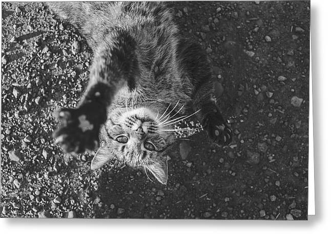 Cat On Back Greeting Card by Cco