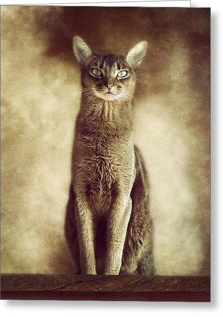 Abyssinian Cat Portrait 3 Greeting Card