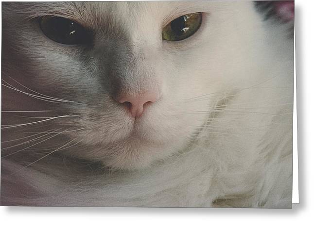 Cat - Silky - Pretty For The Camera Greeting Card by Black Brook Photography