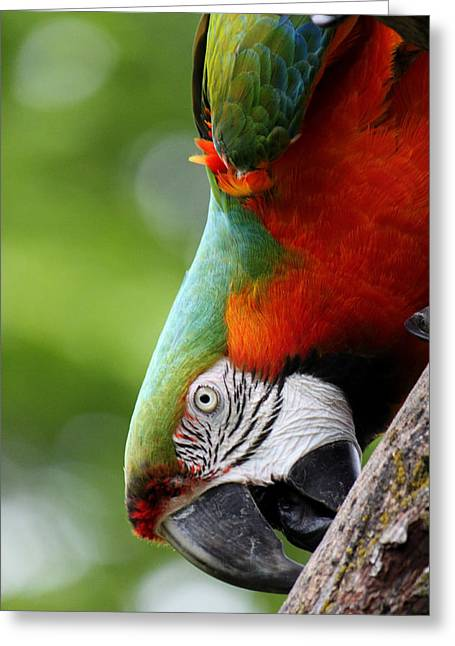 Catalina Macaw II Greeting Card by Nancy  Coelho
