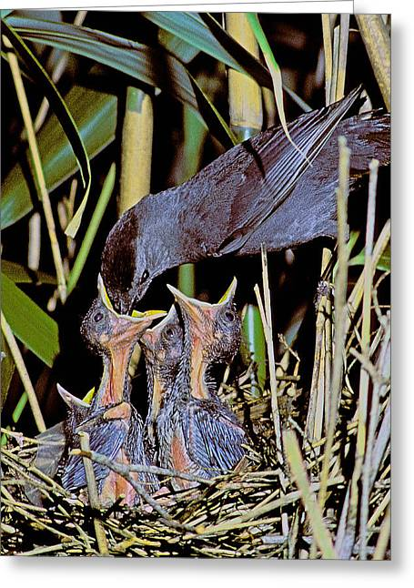 Catbird Feed Greeting Card by Alan Lenk